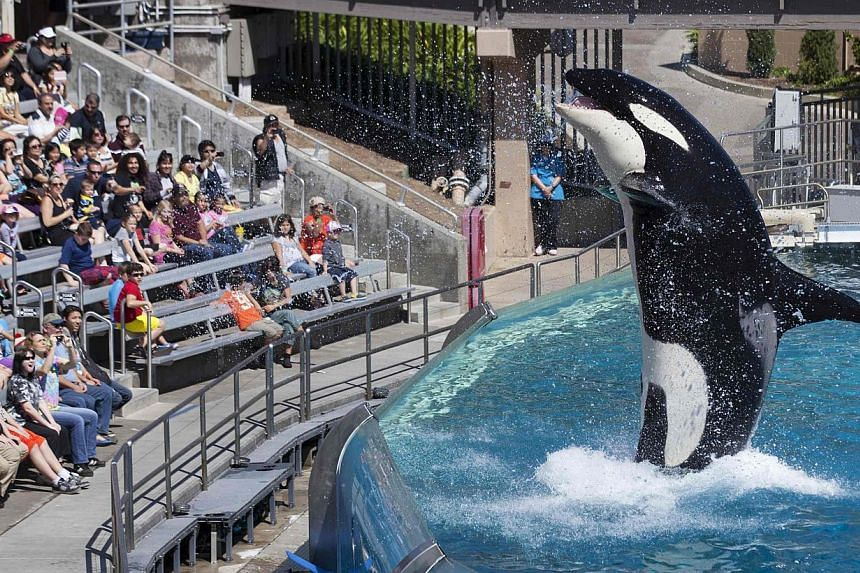 Visitors are greeted by an Orca killer whale as they attend a show featuring the whales during a visit to the animal theme park SeaWorld in San Diego, California March 19, 2014. -- PHOTO: REUTERS