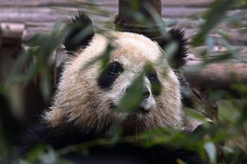 A giant panda rests inside its enclosure in Chengdu, Sichuan province, March 26, 2014.Tensions over the disappearance of Malaysia Airlines flight MH370 is believed to have led to a postponement of the highly anticipated arrival of two pandas fr