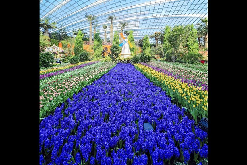 About 900,000 visitors from around the world check out Holland's Keukenhof from March to May each year to see the flower garden's showcase of tulips indoors (above) and outdoors (left and right). Visitors to Keukenhof can explore its myriad tulip off