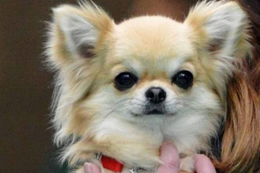 Valenchino Chihuahua Xena, which was named Best Puppy in Breed at Crufts 2014, is one of five chihuahuas stolen from a house in northern England.-- PHOTO: AFP/HUMBERSIDE POLICE