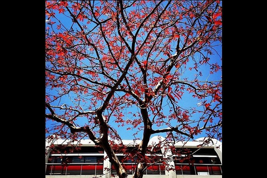 Leaves have turned a beautiful red colour on this tree at Tampines Central. -- ST PHOTO: NEO XIAOBIN
