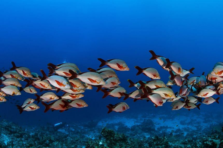 Photograph of a school of red snapper fish taken in Maldives by Mr Imran Ahmad, a professional underwater photographer with Nikon. Fish are losing their survival instinct - even becoming attracted to the smell of their predators - as the world's ocea