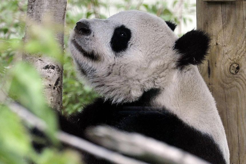 Tian Tian ('sweetie') the female giant panda relaxes in her compound at Edinburgh Zoo on Aug 9, 2013.Britain's only female giant panda, Tian Tian, has been artificially inseminated after failing to mate with her male partner Yang Guang, Edinbur