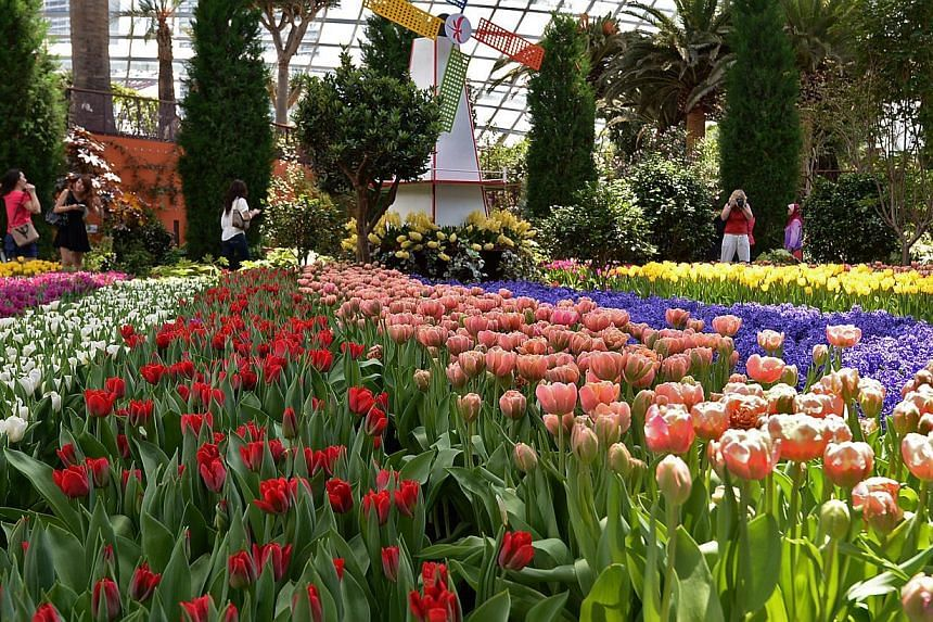 Singapore's largest tulip display, Tulipmania, returns to the Flower Dome at Gardens By The Bay from April 14 to May 4, 2014.-- ST FILE PHOTO: MUGILAN RAJASEGERAN