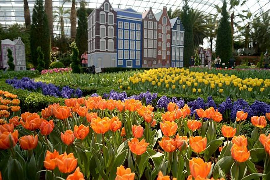 Singapore's largest tulip display, Tulipmania, returns to the Flower Dome at Gardens By The Bay from April 14 to May 4, 2014.-- ST PHOTO: JAMIE KOH