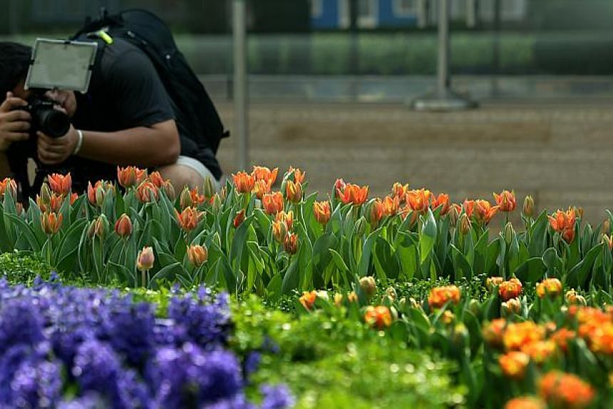 Singapore's largest tulip display, Tulipmania, returns to the Flower Dome at Gardens By The Bay from April 14 to May 4, 2014.-- ST FILE PHOTO: JAMIE KOH