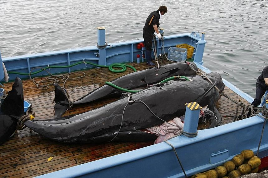 Captured short-finned pilot whales are seen on the deck of a whaling ship at Taiji Port in Japan's oldest whaling village of Taiji, 420km south-west of Tokyo on June 4, 2008.Japan is considering scrapping a north-west Pacific whale hunt just da