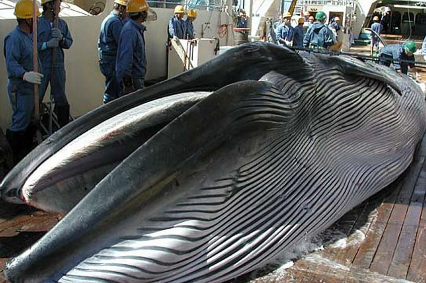 This handout picture taken by Japan's Institute of Cetacean Research (ICR) in 2013 shows a Bryde's whale on the deck of a whaling ship during Japan's whale research program in the Western North Pacific. Japan said on Friday, April 18, 2014, it w