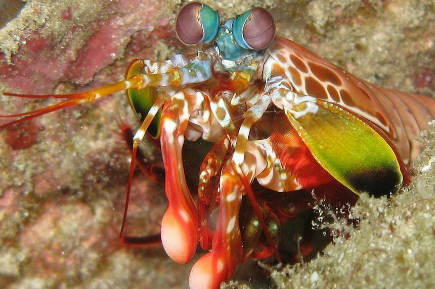 The mantis shrimp arm's key element is a mineral called fluorapatite. This is also found in shark's teeth. -- FILE PHOTO: SILKE BARON