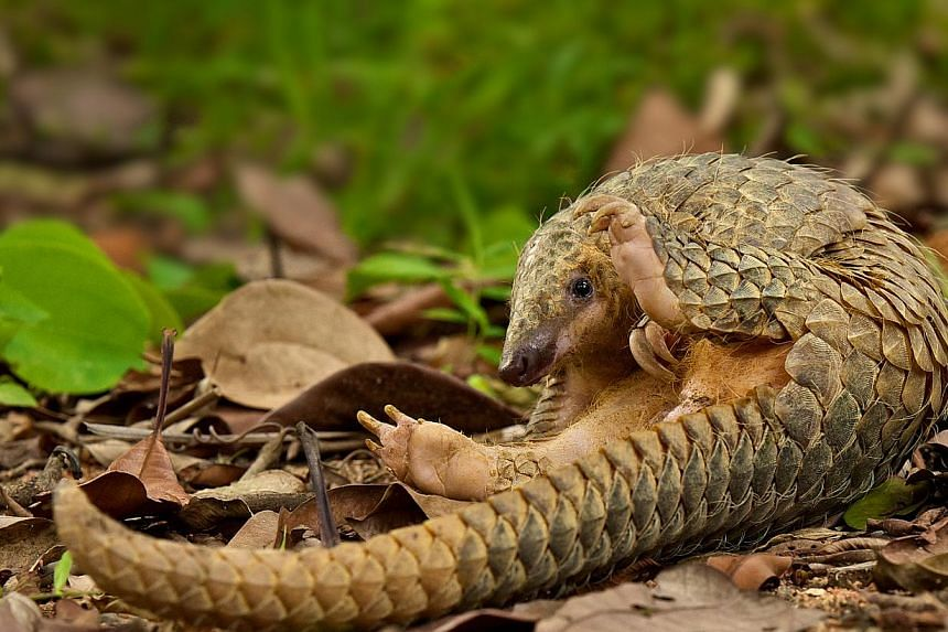 China lists 420 species as rare or endangered, including the pangolin, some or all of which are threatened by illegal hunting, environmental destruction and the consumption of animal parts, including for supposedly medicinal reasons. -- FILE PHOTO: N
