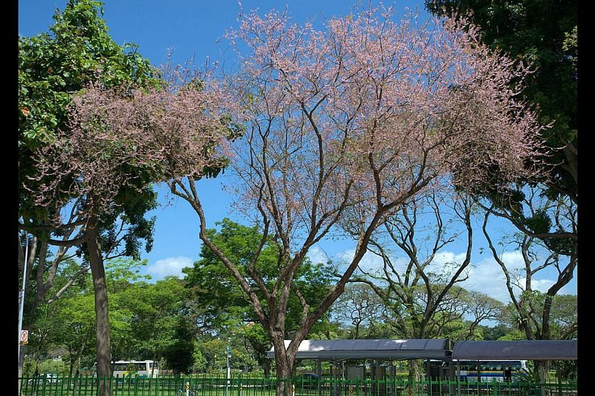 Black Pearl tree (Majidea zanguebarica. above) in the Eng Kong private housing estate and Wild Almond tree (Sterculia foetida, right) along Dunearn Road.
