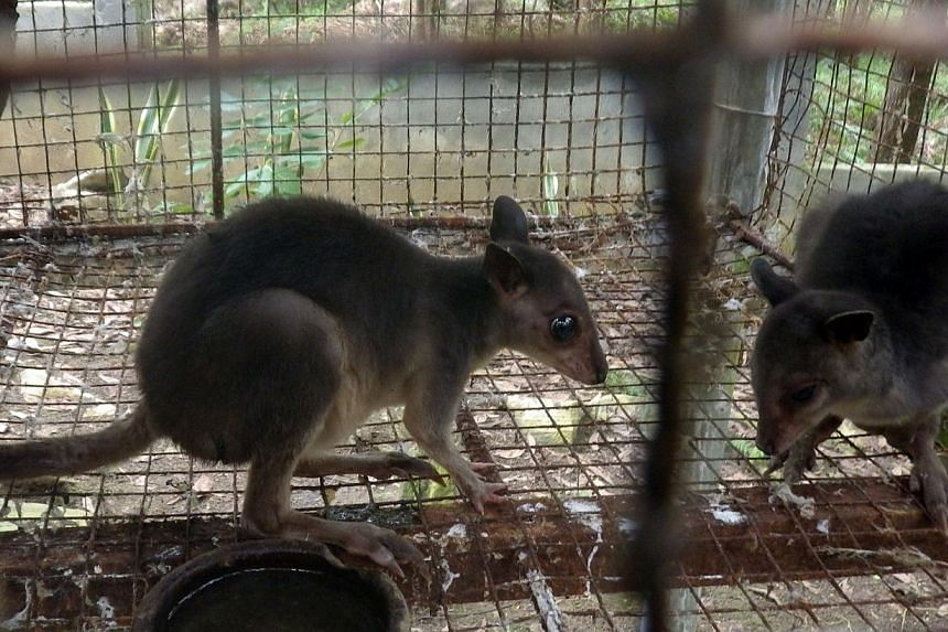 A man is facing charges after he allegedly attempted to sell a baby wallaby, such as these, on Facebook. -- FILE PHOTO: AFP/DEPARTMENT OF ENVIRONMENT AND NATURAL RESOURCES