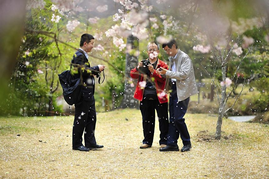 Tourists taking photographs of the falling petals of a Shidarezakura tree (also known as the weeping cherry tree) in Arashimaya, Kyoto. Weeping cherry trees have drooping branches and are among the most common and beloved cherry trees in Japan. They