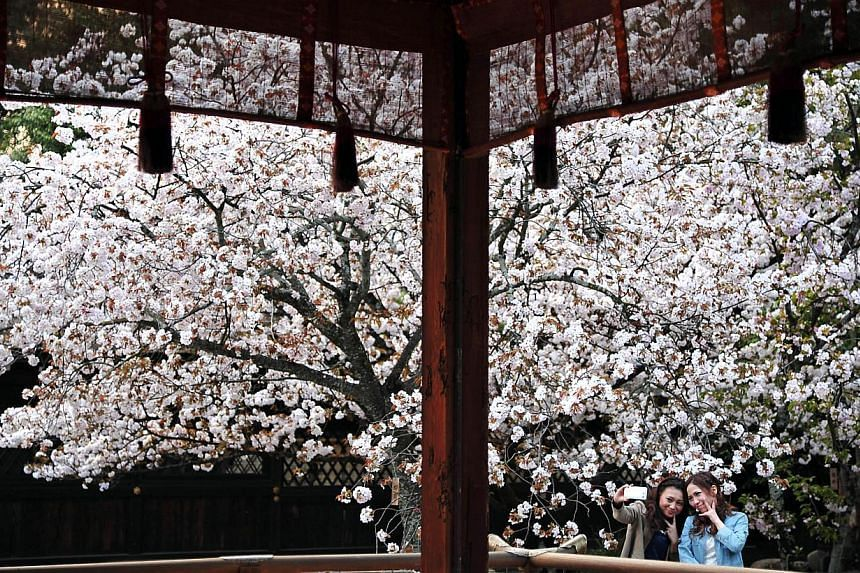 Two women taking selfies in front of a sakura tree in the Kitano Tenmangu Shrine in Kyoto. Built in 947, the shrine became the object of imperial patronage during the early Heian period and is now considered a prime spot for sakura spotting. -- ST PH