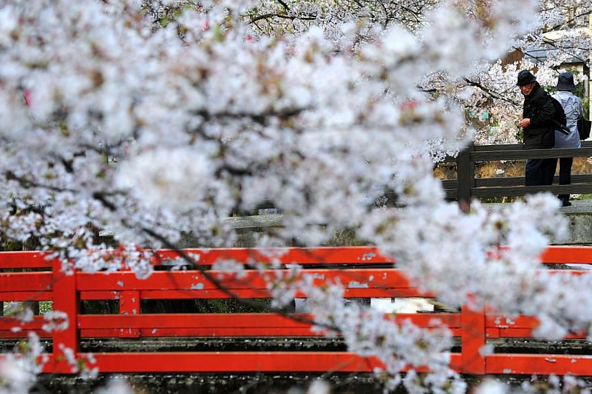 The traditional onsen (or hot springs) town of Kinosaki is located in northern Hyogo prefecture along the coast of the Sea of Japan. This famous town, built along a willow-lined river, is festooned with the Somei Yoshino cherry tree in April. Cultiva