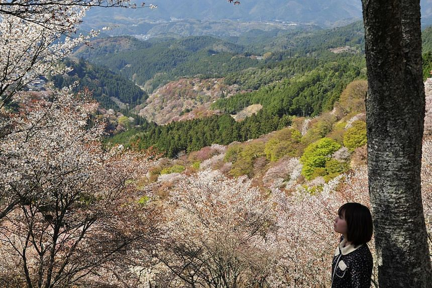 A girl takes a breather to soak in the sight of hundreds of cherry trees on the slopes of Kami Senbon at Mount Yoshino, in Nara. There are more than 30,000 cherry trees planted along the slopes of the mountain. -- ST PHOTO: DESMOND FOO