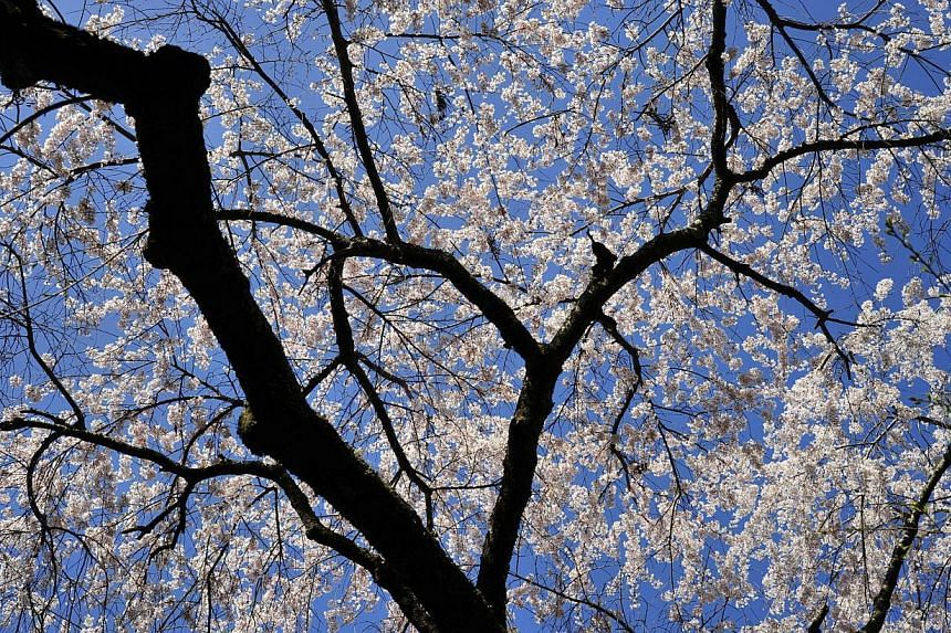 To the world, cherry blossoms are an iconic symbol of Japan.-- ST PHOTO: DESMOND FOO