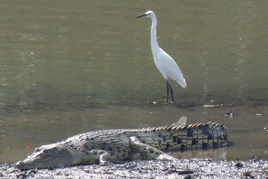 A couple was taking photos of egrets at Sungei Buloh Wetland Reserve when they snapped this picture. The death of a saltwater crocodile, nicknamed Barney by anglers, puts the spotlight on these creatures that reside in Singapore's parks and reservoir
