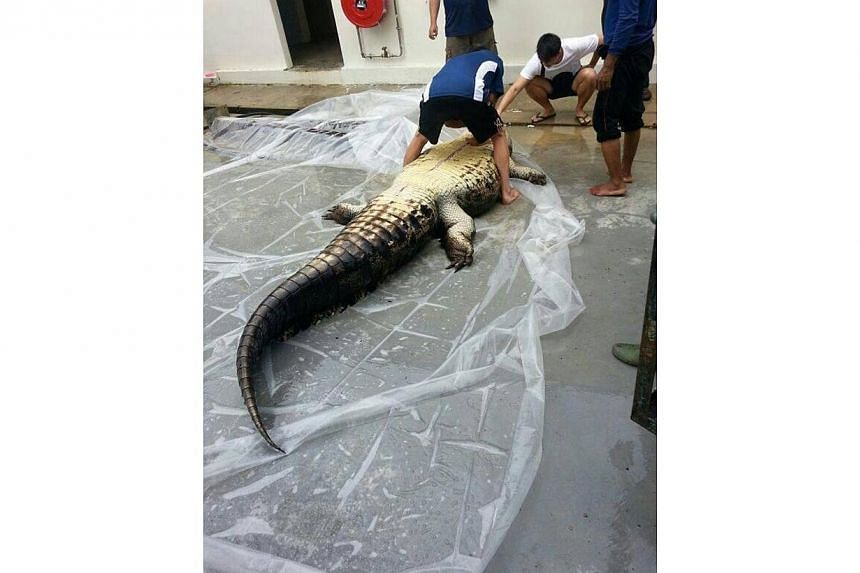 The carcass of a 4m croc was found two weeks ago at Kranji reservoir. The death of a saltwater crocodile, nicknamed Barney by anglers, puts the spotlight on these creatures that reside in Singapore's parks and reservoirs. -- PHOTO: ST READER