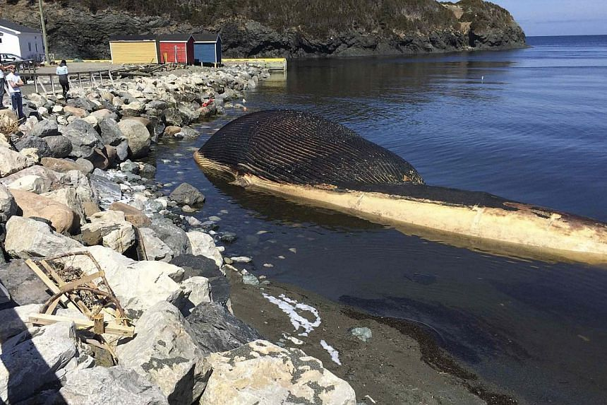 A rotting blue whale lies in shallow water after washing ashore in Trout River, Newfoundland on April 30, 2014, in this handout courtesy of NTV News.A fishing village in easternmost Canada tried on Monday to auction off on eBay a sperm whale ca
