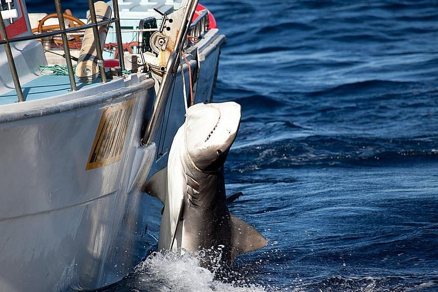 This handout image taken on Feb 22 by the Sea Shepherd Australia Ltd / Animal Amnesty shows a tiger shark caught off Moses Rock in Western Australia. More than 170 sharks were caught during a controversial cull policy in Western Australia following a