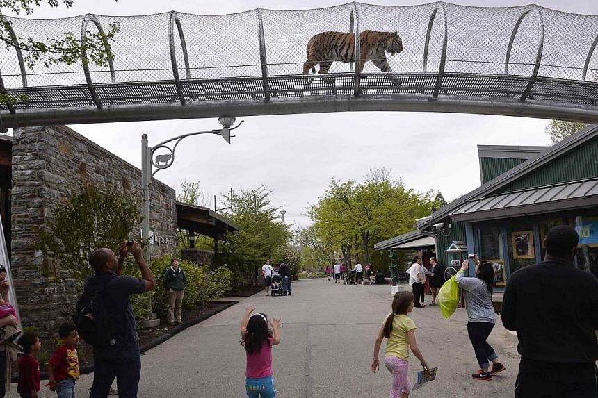 An Amur tiger walks over the new Big Cat Crossing as visitors look on at the Philadelphia Zoo in Philadelphia, Pennsylvania on May 7, 2014. -- PHOTO: REUTERS