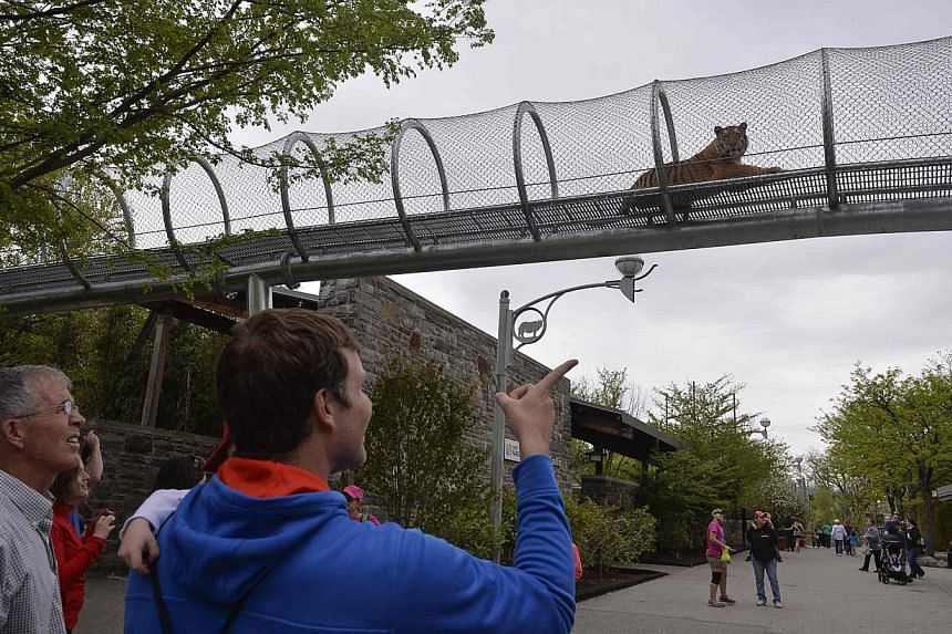 """The tigers had never encountered humans at anything other than eye level before, said Ms Kay Buffamonte, lead keeper of the zoo's Big Cat Falls exhibit. """"Being elevated for them is a position of power,"""" she said.-- PHOTO: REUTERS"""