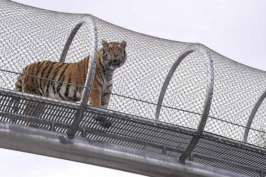 The project, featuring mesh-enclosed walkways just 14 feet above the ground, is part of an initiative to give animals more room to walk, run and explore.-- PHOTO: REUTERS
