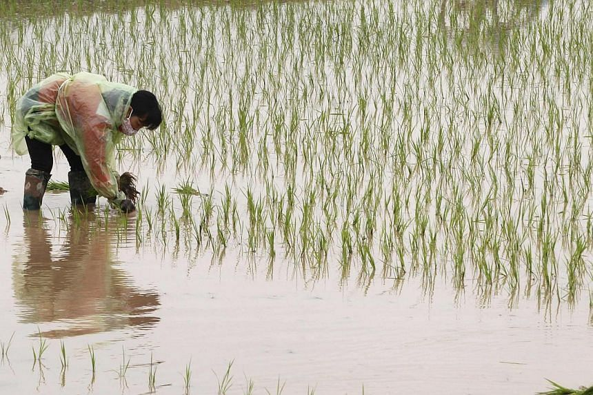 A paddy field in Ba Vi district, outside Hanoi, in February. South-east Asia is an area of extreme economic diversity; for example, Singapore is a services-based economy while Thailand and Vietnam are big agricultural exporters.