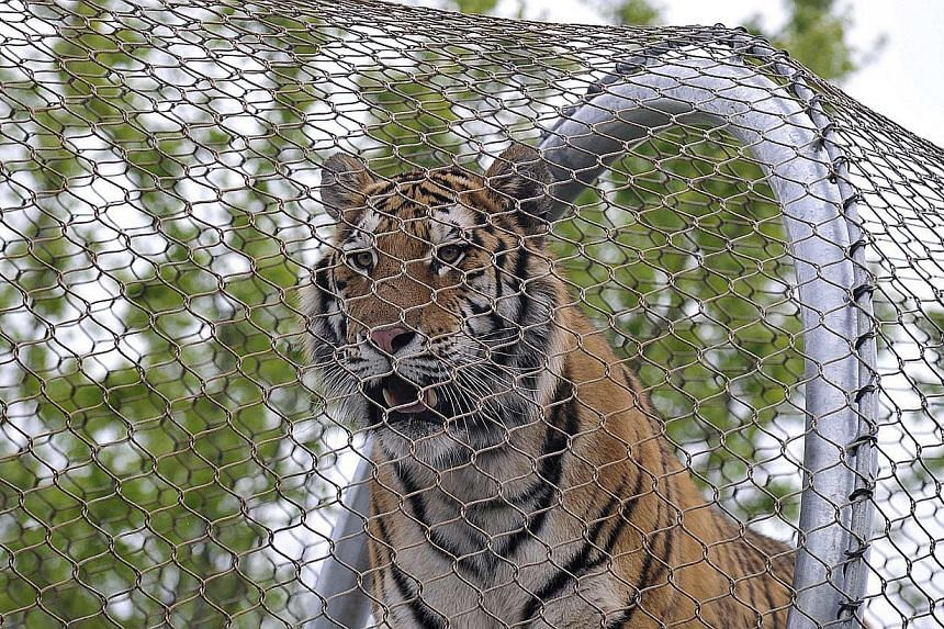 An Amur tiger walks over the new Big Cat Crossing at the Philadelphia Zoo in Philadelphia, Pennsylvania May 7, 2014.-- PHOTO: REUTERS