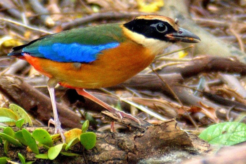 Some migratory birds such as the common redshank (left) and the whimbrel (right) have been observed lingering at the Sungei Buloh Wetland Reserve beyond the migratory season. The blue-winged pitta (above), a brightly hued forest bird which visits to
