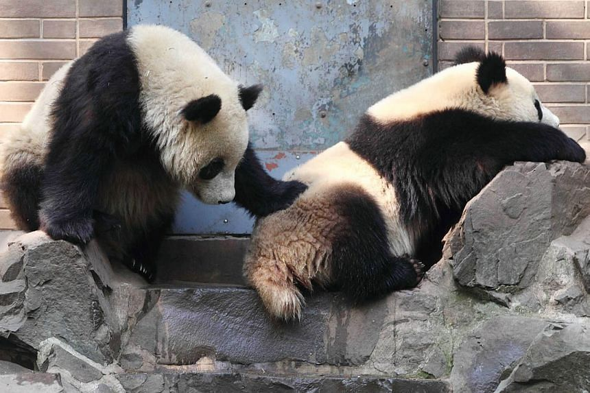 This picture taken on April 14, 2014 shows a pair of giant pandas playing in their enclosure at Hangzhou Zoo in Hangzhou, in eastern China's Zhejiang province. China's long-awaited pandas, Fu Wa and Feng Yi, should arrive in Malaysia next week, hinte