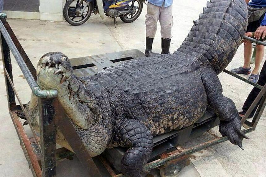 The carcass of the 400kg saltwater crocodile, which was nicknamed Barney by anglers, being carted off to a farm for disposal. It is not known why the suspected poachers did not escape with their giant catch.