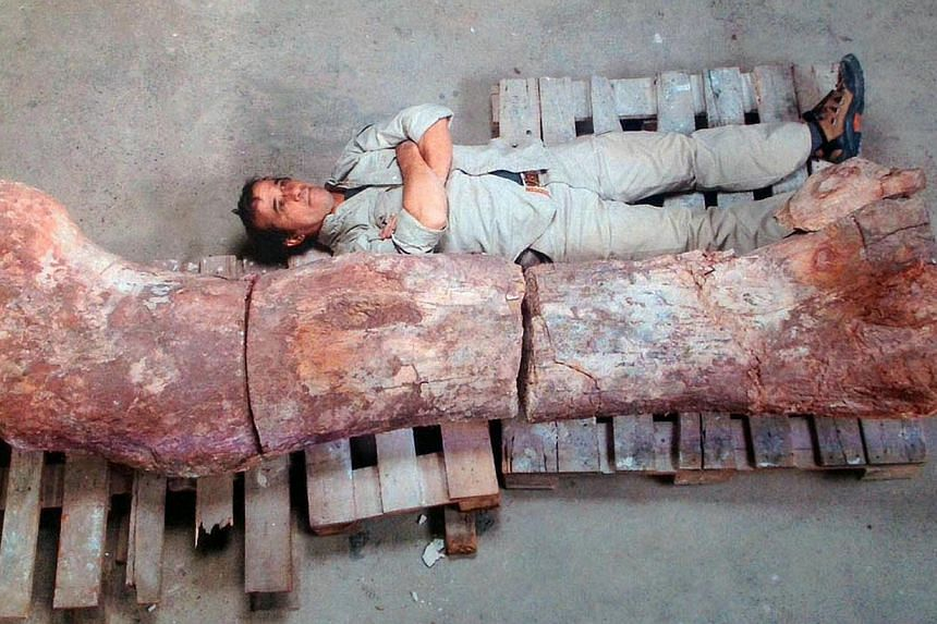 Picture taken on May 16, 2014 showing a technician next to the femur of a dinosaur - likely to be the largest ever to roam the earth - in Rawson, Chubut, some 1,300km south of Buenos Aires. Paleontologists in Argentina's remote Patagonia region hav