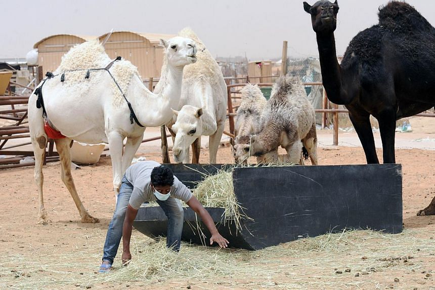 An Indian worker wears a mouth and nose mask as he feeds camels at his Saudi employer's farm on May 12, 2014 outside Riyadh. -- FILE PHOTO: AFP