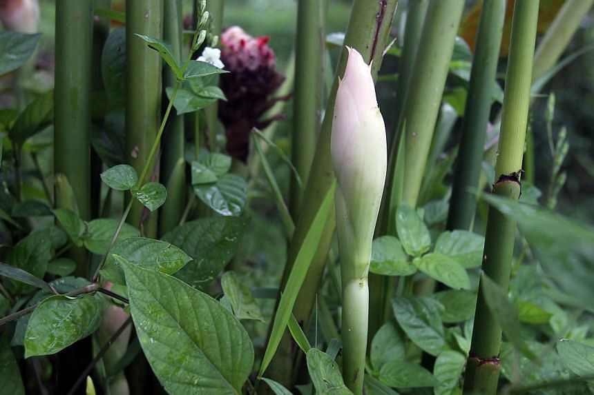 """The rojak flower's bud, commonly used as an ingredient in the making of rojak, at Bollywood Veggies on May 16, 2014. Stock up on fresh goat milk, quail eggs and tilapia fish - all """"made in Singapore"""" and for sale at an upcoming fair featuring the isl"""