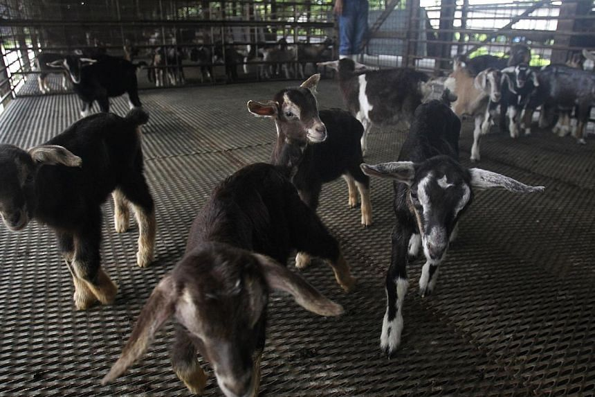 Goat nursery at Hay Dairies Goat Farm on May 16, 2014. -- ST FILE PHOTO: KEVIN LIM