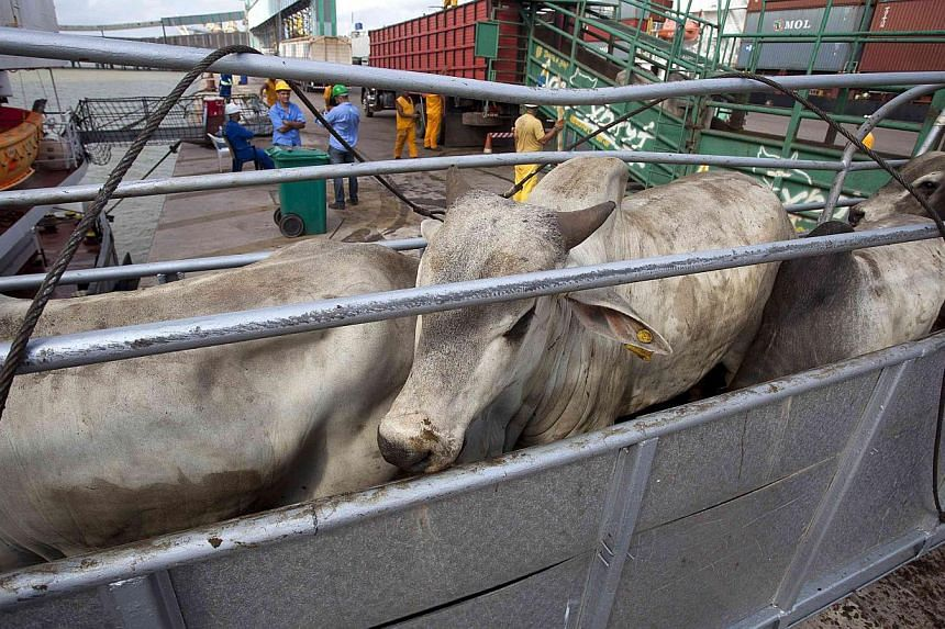 Cattle being loaded for export in Barcarena, in Brazil, on, October 9, 2013. Saudi Arabia has suspended beef imports from Brazil over fears of a suspected case of atypical mad cow disease detected in the country, the Gulf kingdom said on Monday.&nbsp