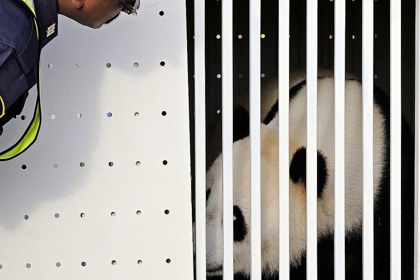 One of China's two pandas, eight-year-old Feng Yi (female), looks out from its cage upon its arrival at the Kuala Lumpur International Airport, in Sepang, outside Kuala Lumpur, on May 21, 2014. -- PHOTO: EPA