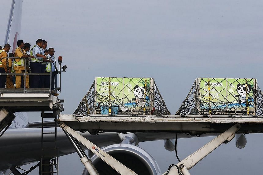 Giant pandas from China, Feng Yi (female) and Fu Wa (male), arrive inside their cages at the MASkargo Complex in Sepang, outside Kuala Lumpur on May 21, 2014. -- PHOTO: REUTERS