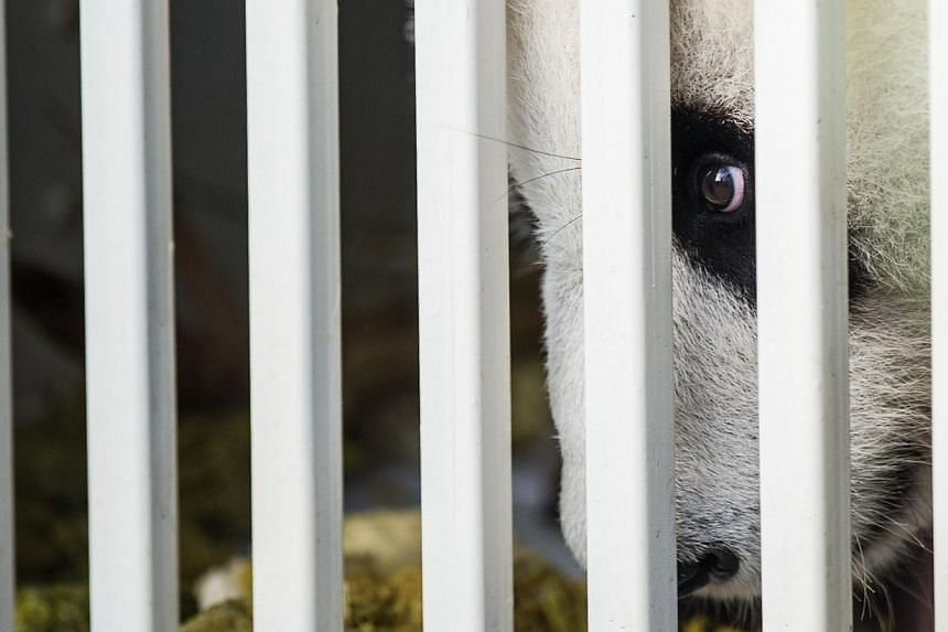 Feng Yi , one of two giant pandas on loan from China, is seen from its cage upon its arrival from China at MASkargo near Kuala Lumpur International Airport (KLIA) in Sepang on May 21, 2014. -- PHOTO: AFP
