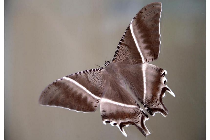 Large, dark-coloured moths with dramatic wings have been spotted all over Singapore in recent weeks, from the CBD to Yishun to Pasir Panjang. The palm-sized moth is the Lyssa zampa, also known as the tropical swallowtail moth.-- ST PHOTO: