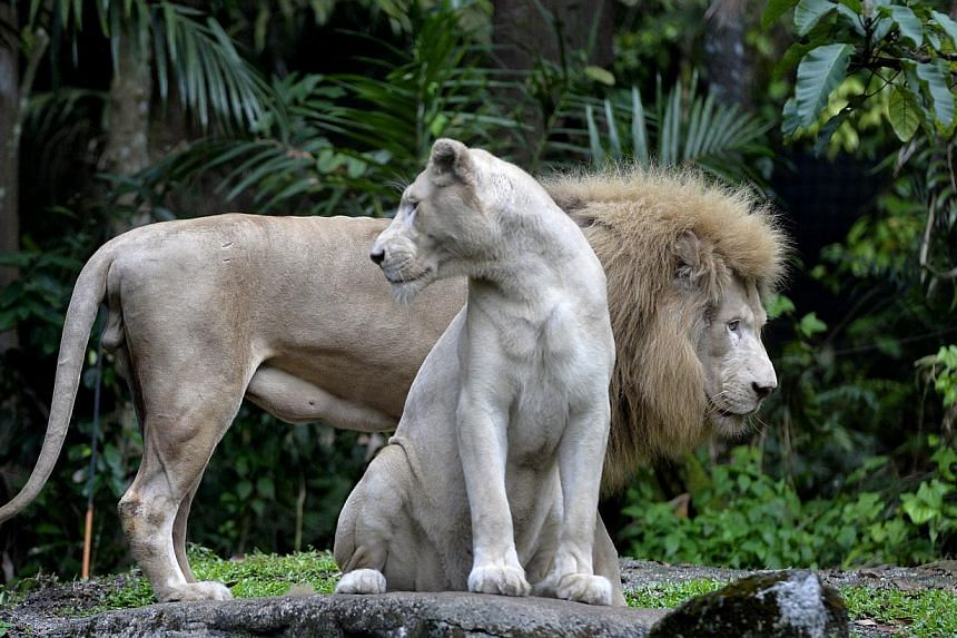 White lions Mandisa (in front) and Sipho at the Night Safari, which is offering Singaporeans and permanent residents tickets at $20 this weekend as part of its anniversary celebrations. -- PHOTOS: DESMOND FOO, WILDLIFE RESERVES SINGAPORE