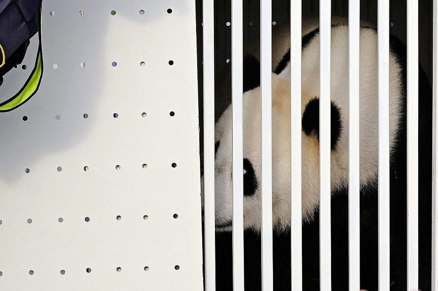 One of China's two pandas, eight-year-old Feng Yi (female) looks out from its cage upon its arrival at the Kuala Lumpur International Airport, in Sepang, outside Kuala Lumpur, on May 21, 2014. Feng Yi and its male partner Fu Wa are loaned to Malaysia