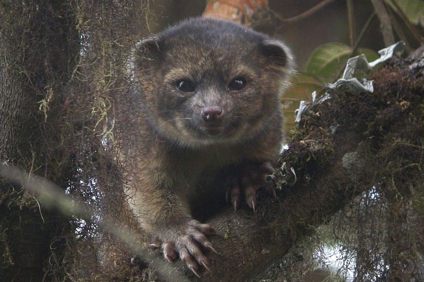 An olinguito (Bassaricyon) is seen in a tree at Tandayapa Bird Lodge in Ecuador in this undated handout photo provided by the International Institute of Species Exploration and the State University of New York (SUNY) College of Environmental Science