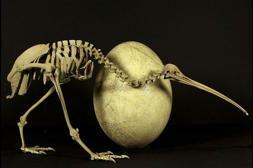 An adult brown kiwi (Apteryx australis) beside the egg of a huge elephant bird (Aepyornis maximus) is shown in this undated handout provided by Paul Scofield and Kyle Davis at the Caterbury Museum in Christchurch, New Zealand, on May 22, 2014. A new