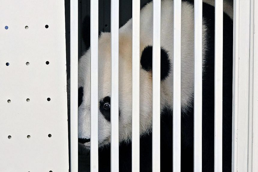 One of China's two pandas, eight-year-old Feng Yi (female) looks out from its cage upon its arrival at the Kuala Lumpur International Airport, in Sepang, outside Kuala Lumpur, 21 May, 2014. -- PHOTO: EPA
