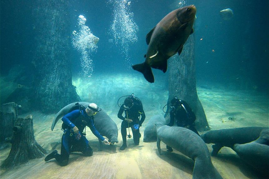 Host of River Monsters Jeremy Wade (above) swimming with the manatees (right) during his first time in the water with them at the River Safari Singapore yesterday.