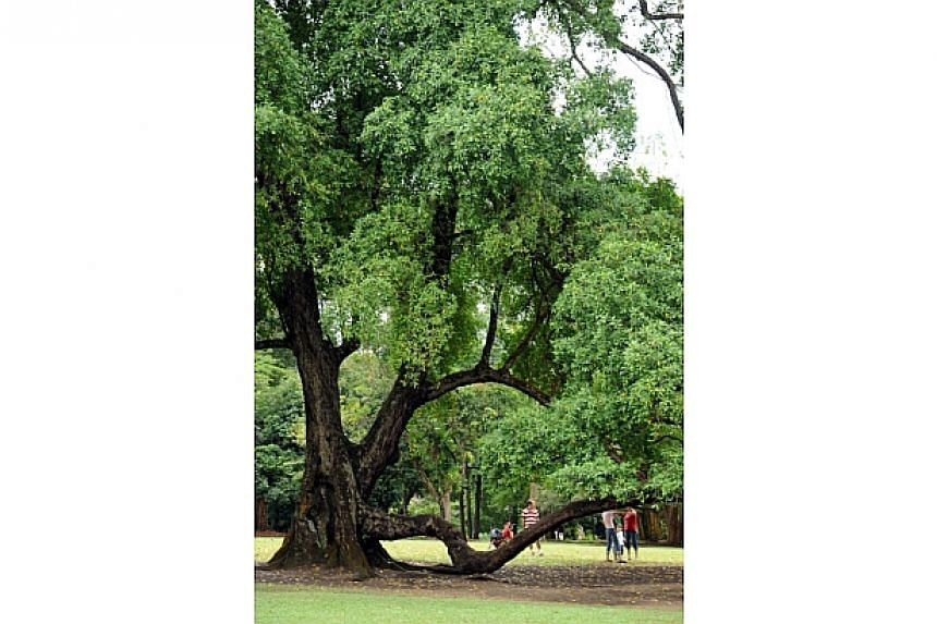 More than 150 years old, this heritage tembusu tree at the Singapore Botanic Gardens is a favourite with kids and newlyweds. -- PHOTO: NATIONAL PARKS BOARD
