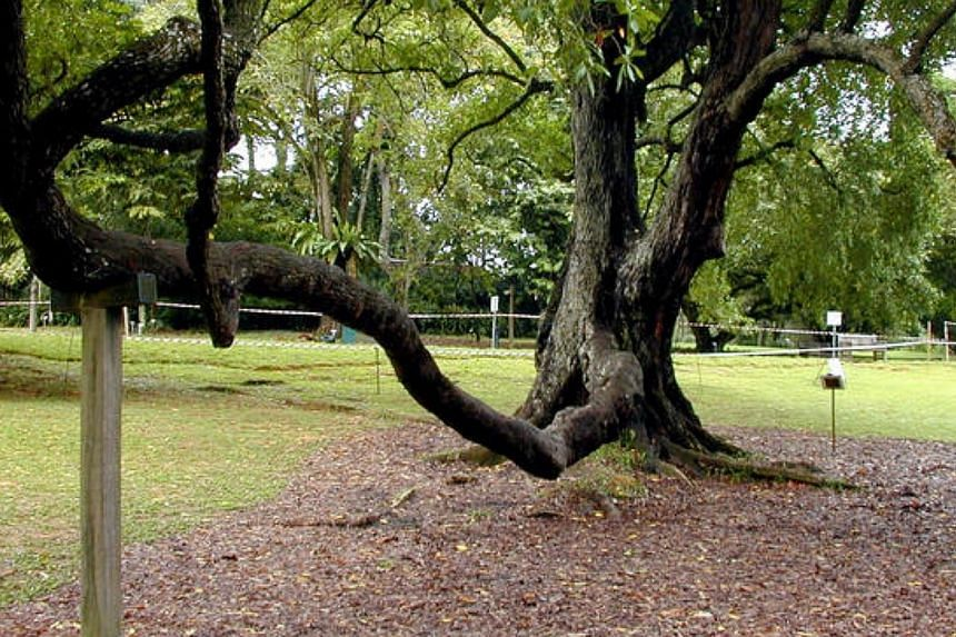 The Tembusu Tree, located at the Botanic Gardens. -- PHOTO: THE NEW PAPER FILE